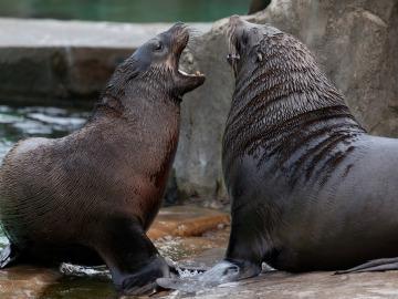 Las capturas de leones y osos marinos por los europeos han alterado su ecosistema