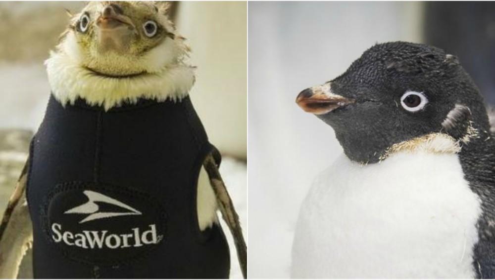 El pingüino Wonder Twin recupera su plumaje gracias a un traje térmico