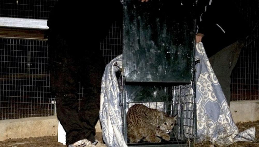 Sueltan a dos linces ibéricos en el área de Guarrizas, en Jaén