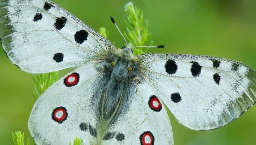 Apolo se convierte en la mariposa del año, una especie amenazada por el cambio climático