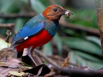 La pita ventirroja, el pájaro que es doce especies en una