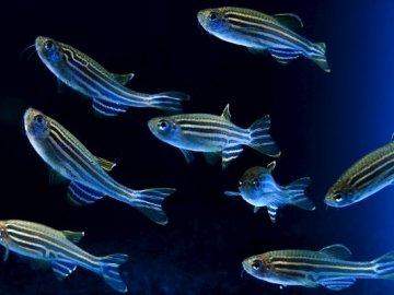 El aumento de las temperaturas origina peces hembras con genes masculinos