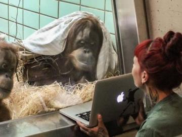 Un zoo de Holanda crea una versión de Tinder para que sus orangutanes encuentren pareja
