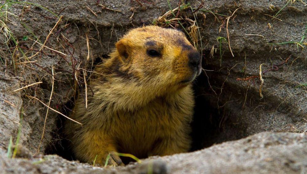 Madriguera de las marmotas