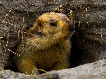 Siete curiosidades para conmemorar el Día de la marmota
