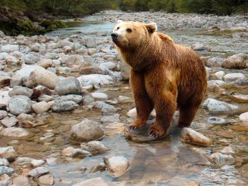Se pone en marcha un protocolo de intervención con osos pardos en cuatro comunidades