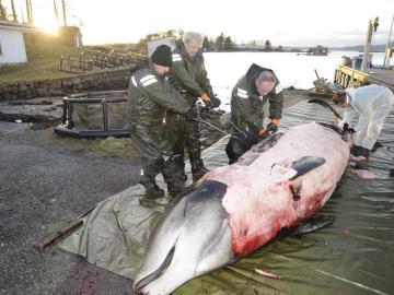 Sacrifican una ballena que contenía en su estómago 30 bolsas de plástico