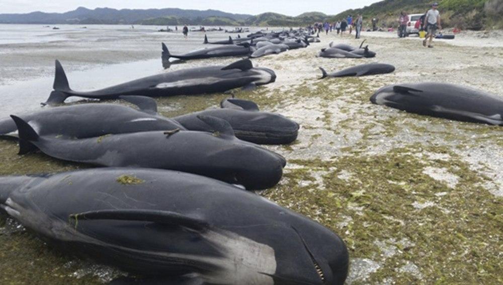Mueren unas 300 ballenas al quedar varadas en la costa de Nueva Zelanda