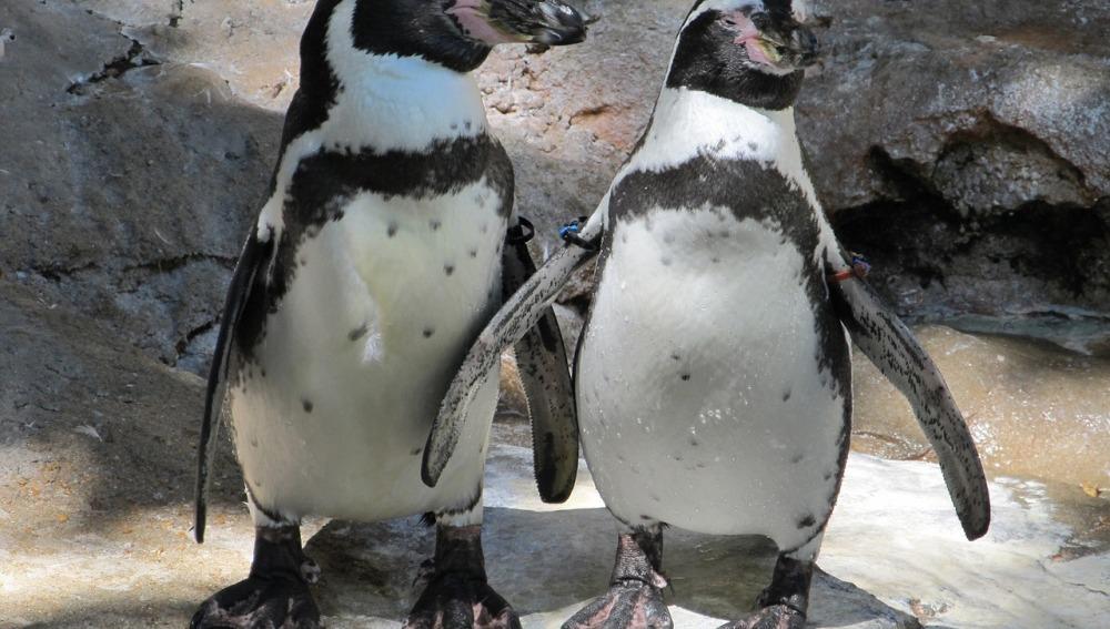 El cambio climático provoca que los pingüinos africanos se alimenten en zonas erróneas