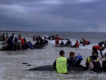 Ascienden a 600 las ballenas varadas en las costas de Nueva Zelanda