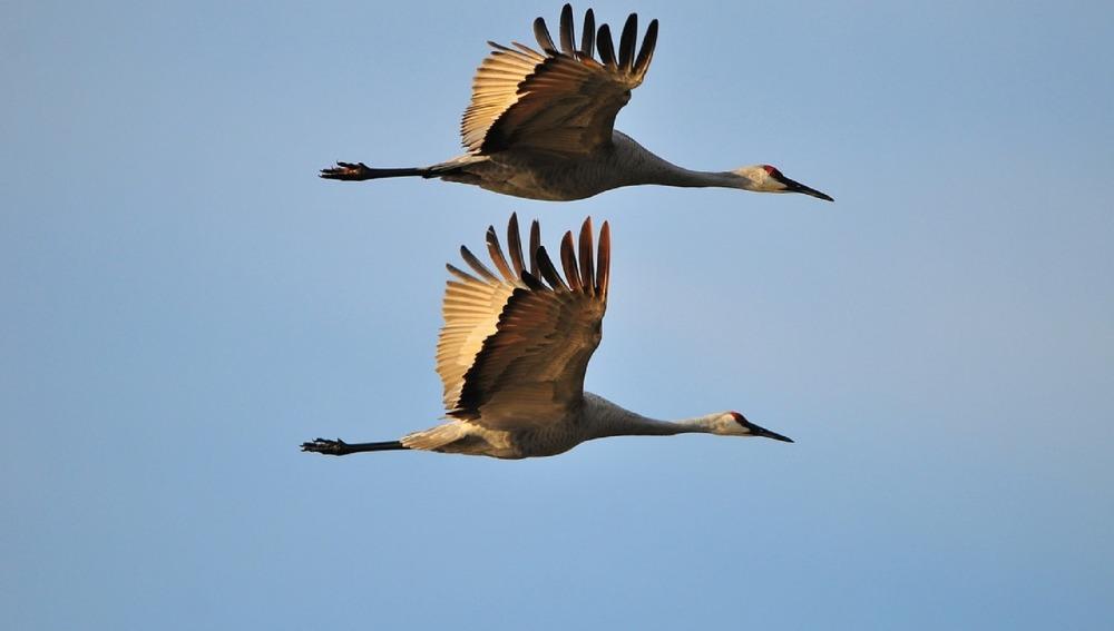 Las grullas, símbolo de fidelidad, vuelan durante la migración en pareja