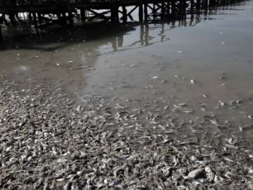 Miles de sardinas aparecen muertas en la costa del Pacífico Central