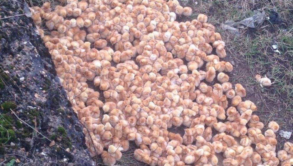 Rescatan a 1000 pollitos abandonados en un campo para morir