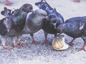 Barcelona quiere reducir el número de palomas mediante anticonceptivos en el pienso