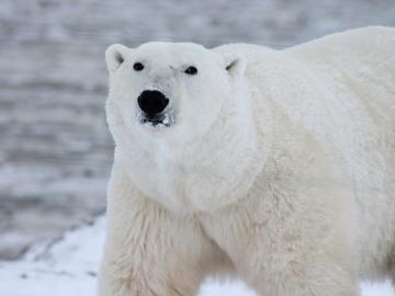 Celebramos el Día Internacional de Oso Polar, el símbolo más preciado del Ártico