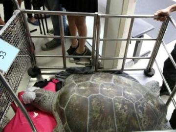 Salvan a una tortuga tras extraerle cinco kilos de monedas de su estómago