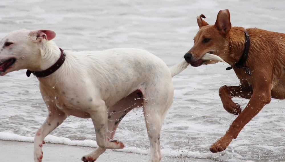 El Congreso prohíbe cortar el rabo a los perros por motivos estéticos
