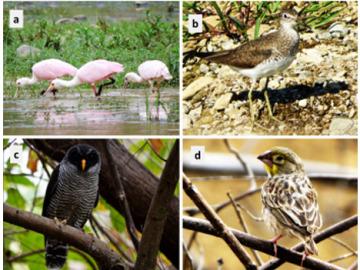 Descubren cuatro nuevas especies de aves en una zona muy amenazada del planeta