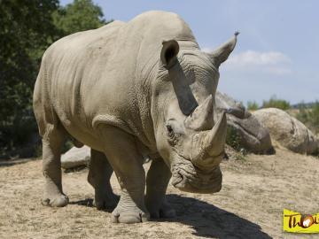 Matan al rinoceronte 'Vince' en un zoo de Francia para robarle su cuerno