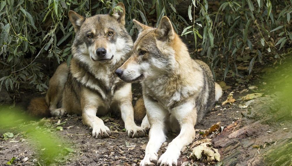 Un centenar de ONG ecologistas se manifiestan en Madrid para pedir la protección del lobo ibérico