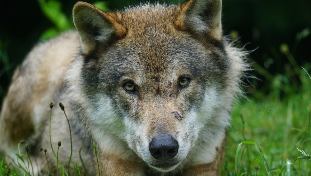 La Fiscalía de Asturias investiga la muerte de seis lobos en la región