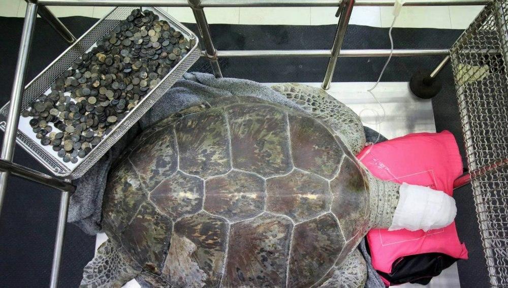 Muere Osmin, la tortuga a la que extrajeron cinco kilos de monedas de su estómago