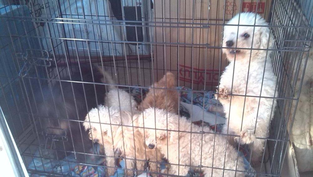 Detienen a un criador ilegal que cortaba las cuerdas vocales a perros