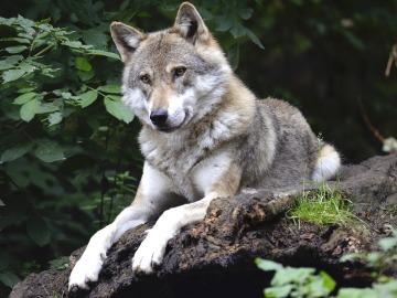 El lobo ibérico se encuentra en grave peligro en Guadalajara