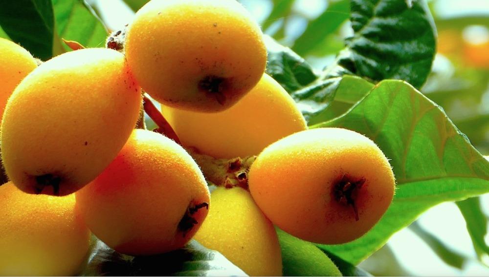 El níspero, una fruta desconocida pero con grandes beneficios para  los peques