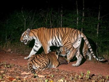 Descubren una nueva población de tigre de Corbett en Tailandia