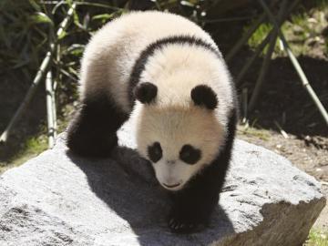 La reina Sofía, madrina de Chulina, la nueva osa panda del zoo de Madrid