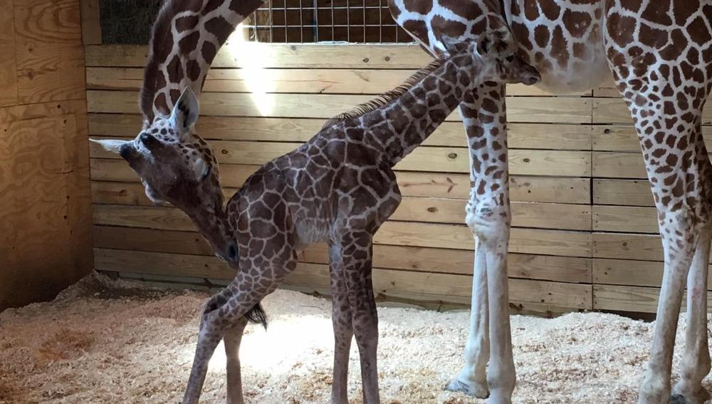 La jirafa April da a luz ante la atenta mirada de miles de espectadores