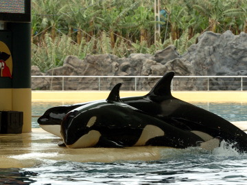 Nace la última orca en cautividad de SeaWorld