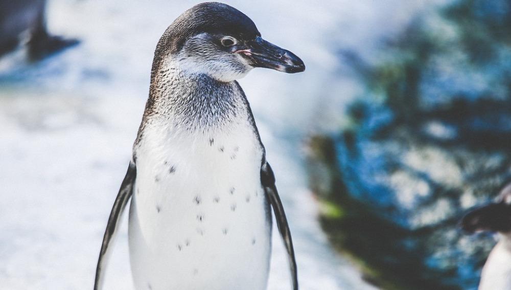 Celebramos el 'Día Mundial del Pingüino' con diez curiosidades sobre estos animales