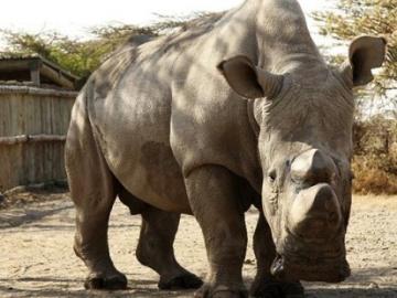 El último rinoceronte blanco busca pareja a través de Tinder