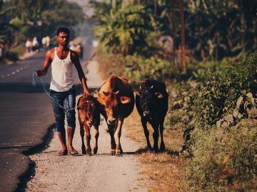 El Gobierno Indio estudia crear refugios para las vacas abandonadas en el país