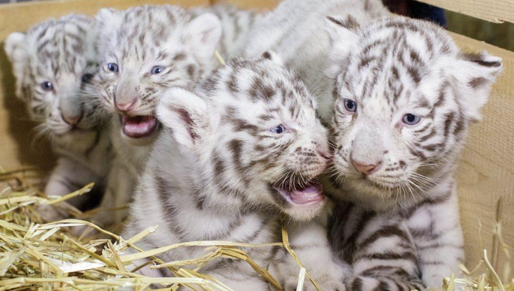 Una tigresa blanca da a luz a cuatrillizos, un fenómeno muy inusual
