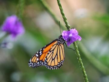 Científicos descubren cómo las mariposas consiguen obtener los colores de sus alas