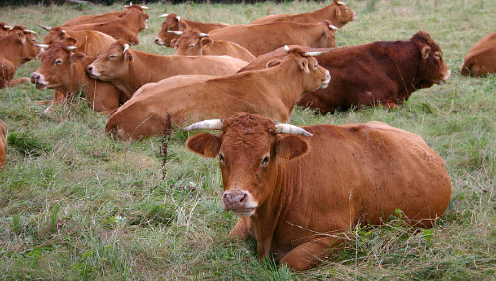Reses bovinas