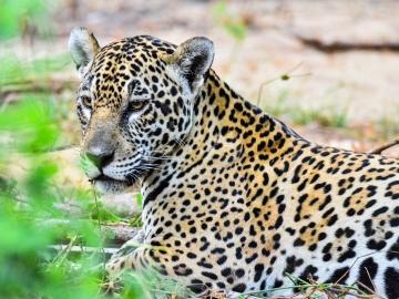 Jaguar salvaje en Pantanal (Brasil)
