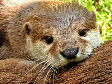 El 'Proyecto Nutria', una iniciativa para salvar a estos animales de la extinción