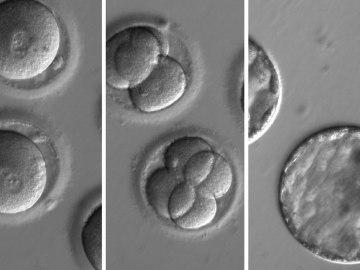 Embriones humanos a los que se aplicó la técnica CRISPR