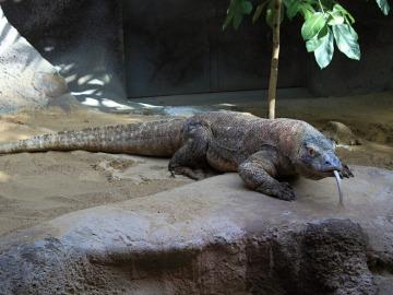 Imagen de archivo de un dragón de Komodo