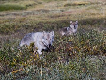 """La WWF pide que se frene el """"exterminio oficial"""" del lobo en Asturias"""