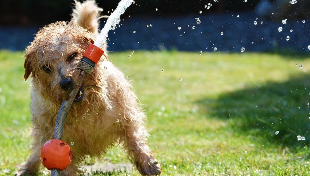 Perro refrescándose
