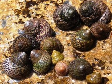 Sugieren una reorganización de los caracoles marinos de Europa
