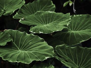 El tamaño de las hojas de las plantas varía con las temperaturas