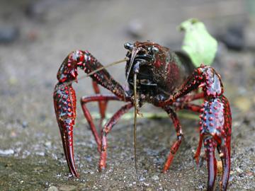 Las olas de calor aumentan el impacto del cangrejo americano en los rios