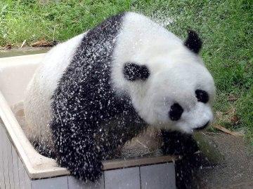 Muere 'Basi', la osa panda más vieja del mundo