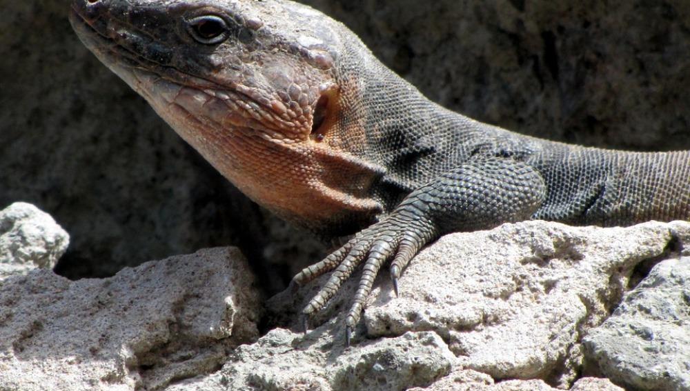 Los ecosistemas canarios se ven alterados con la extinción del lagarto